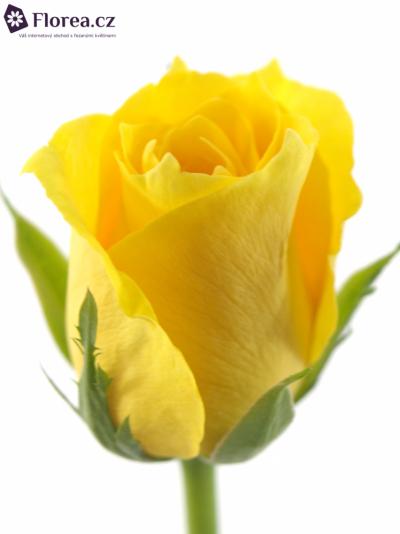 Žlutá růže RAFIKI 30cm