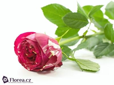 Červenobílá růže RANUNCULA 50cm