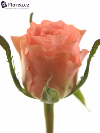 Růžová růže ROSALIE 50cm