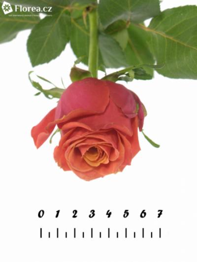 Oranžová růže ROXY 70cm