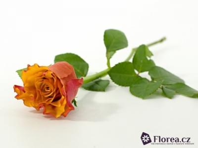 Oranžová růže SINGLE MALT! 50cm