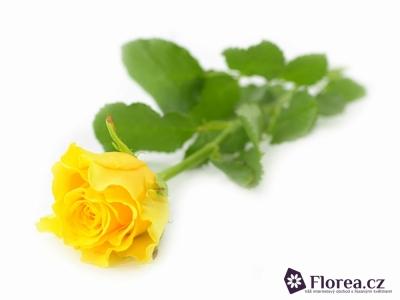 Žlutá růže SPHINX 50cm
