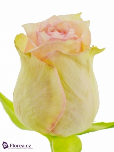 Růžová růže SUDOKU 50cm