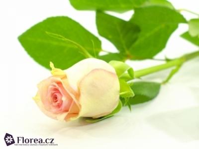 ROSA SUDOKU 50cm (M)
