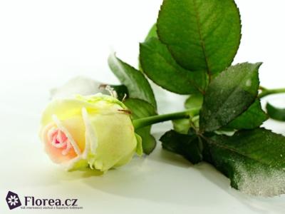 Bílofialová růže SUGAR CANDY 60cm