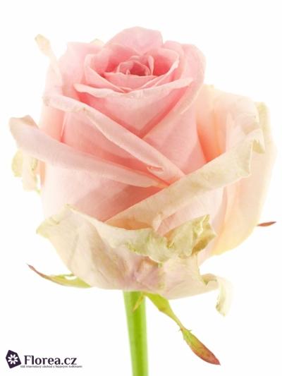 Růžová růže SWEET DOLOMITI 55cm