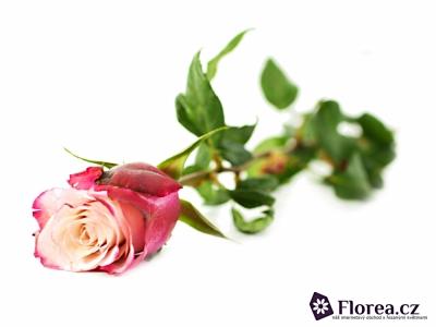 Růžová růže SWEETBERRY 70cm