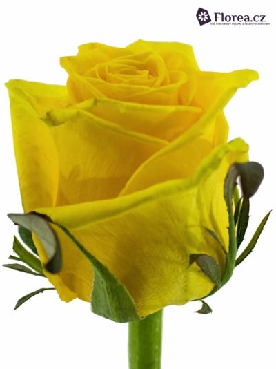 Žlutá růže TARA 70cm