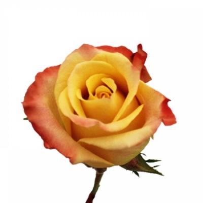 Žíhaná růže TOUCH OF CLASS 60CM