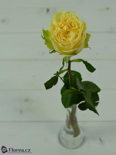 Žlutá růže TURTLE 70cm