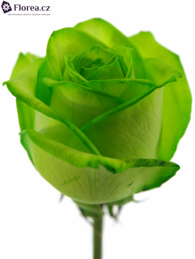 ROSA VENDELA GREEN - ZELENÁ RŮŽE 70cm