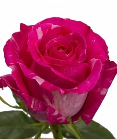 Žíhaná růže WILD TOPAZ 70cm