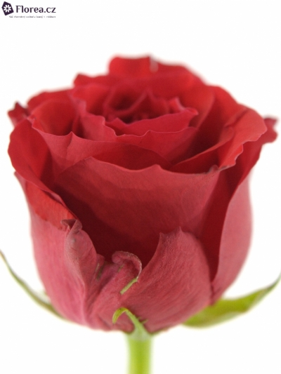 ROSA HOT BLOOD 50cm (M)
