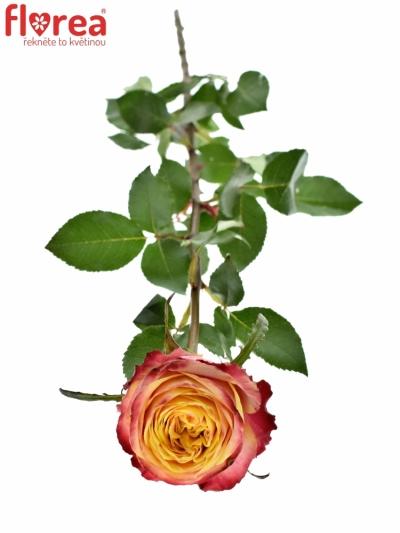 ROSA HURRICANE 50cm (L)