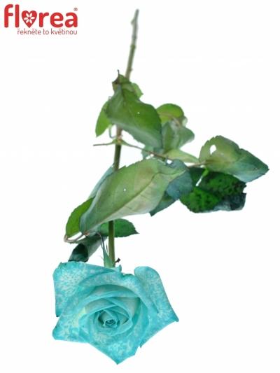 ROSA ICE BLUE VENDELA - MODRÁ RŮŽE 60cm (M)