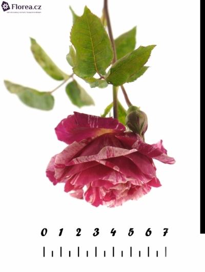 ROSA TR IMPRESSION 30cm/1+