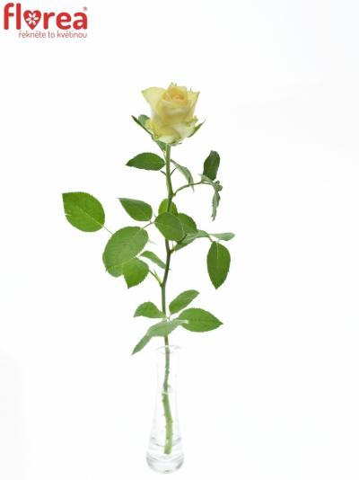 ROSA KIWI 70cm (M)