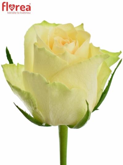 Zelená růže KIWI 60cm (M)