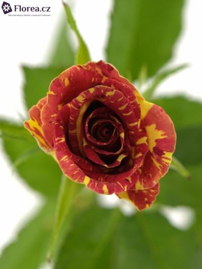 Červená,žlutá růže WIZARD 40cm