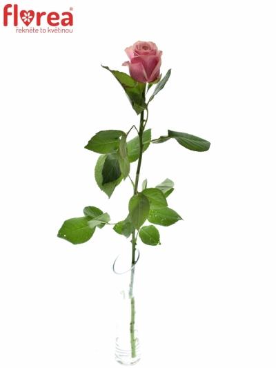 ROSA LADY EVE 50cm (L)