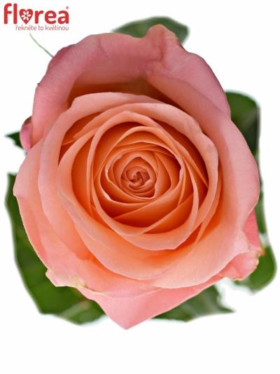 ROSA LADY MARGARET 80cm (L)