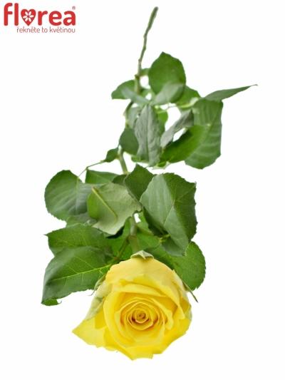 ROSA LIMELIGHT 90cm (XL)