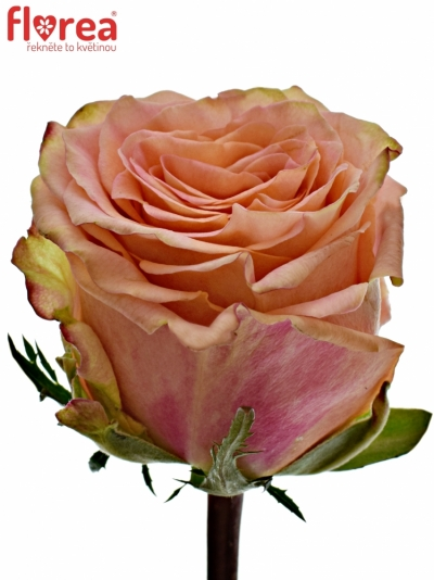 ROSA LOVE PEARL