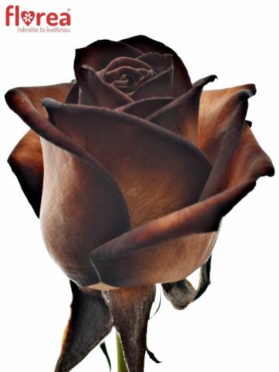 ROSA MOCCA VENDELA 70cm - HNĚDÁ RŮŽE (M)