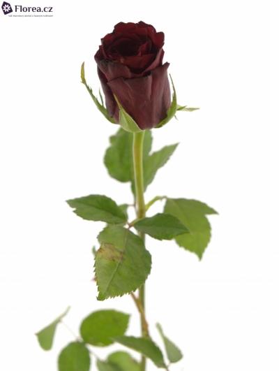 ROSA MON AMOUR 70cm (M)