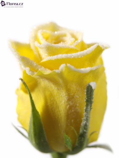 ROSA MOONWALK FROST 50cm (M)