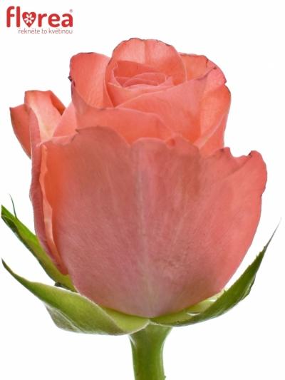 ROSA NANCY 50cm (S)