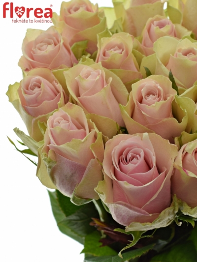 ROSA PINK ATHENA 50cm (L)