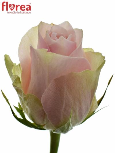 Růžová růže PINK ATHENA 50cm (L)