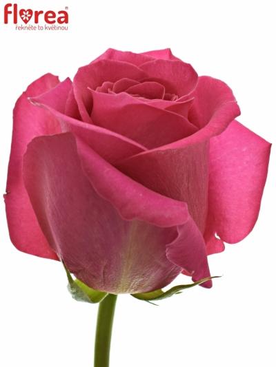 ROSA PINK FLOYD+ 100cm (XXL)