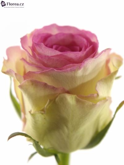 ROSA PINK ICE