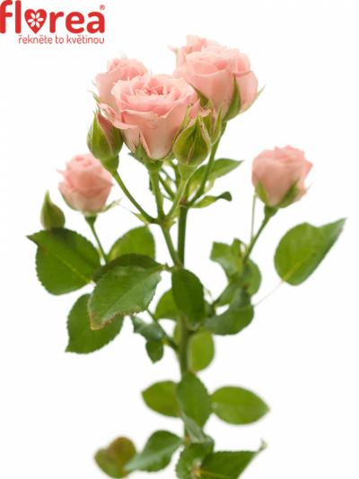 ROSA TR PINK IRISCHKA 50cm/3+