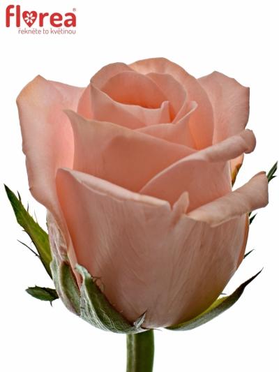 ROSA PINK PANASH 50cm (S)