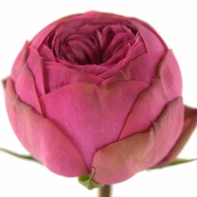 ROSA PINK PIANO FREILAND 30cm/1+
