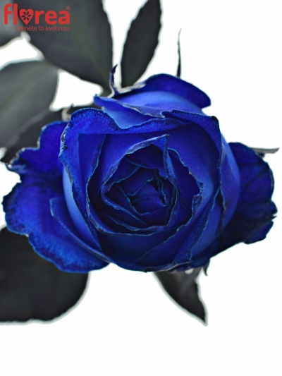 ROSA BLUE QUEEN OF AFRICA 60cm - MODRÁ RŮŽE (XXL)