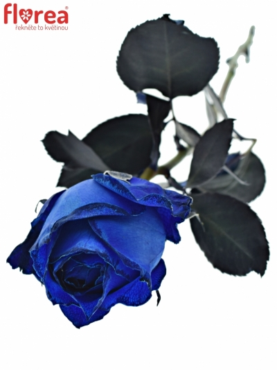 ROSA BLUE QUEEN OF AFRICA 50cm - MODRÁ RŮŽE (XL)