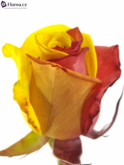 ROSA RAINBOW CATALONIE 70cm