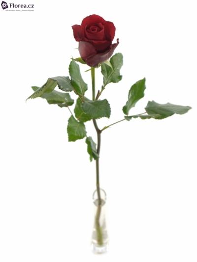 ROSA RESPECT 60cm