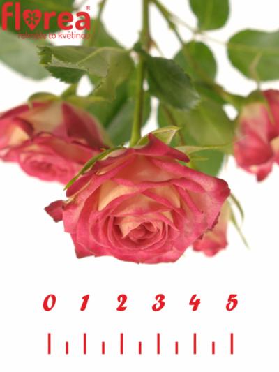 ROSA RUBYELLA 40cm/3+