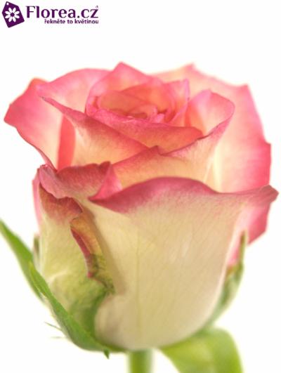 RŮŽOVÁ ROSA SALIMIA 70cm (L)