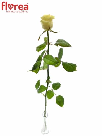 ROSA SAVITA+ 60cm