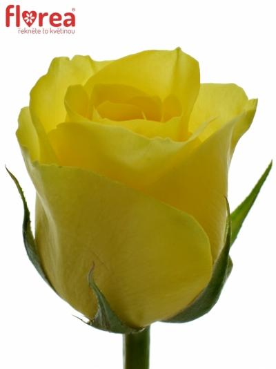 ROSA SEFER 50cm (S)