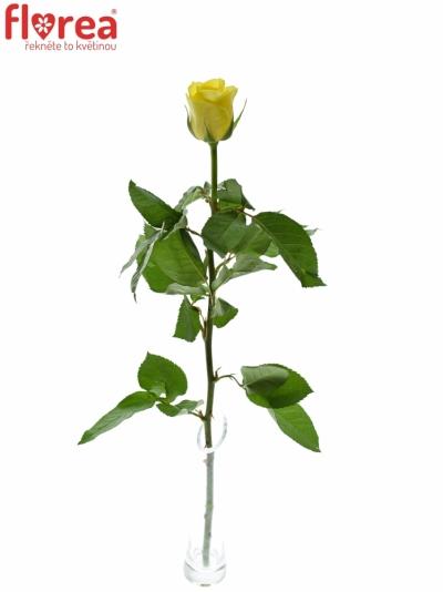 ROSA SEFER 60cm (M)