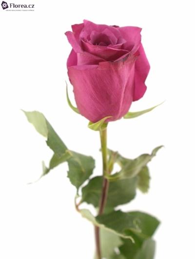 ROSA SHOGUN 80cm