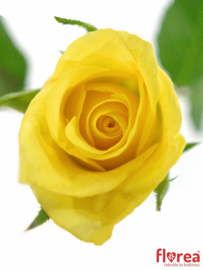 ROSA SUNNY SHER 40cm (S)