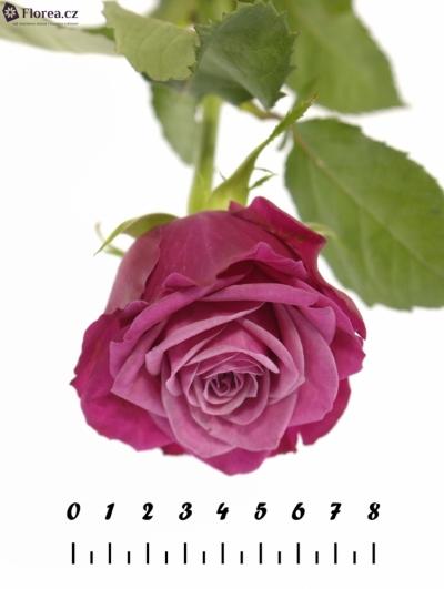 ROSA SUSAN 70cm